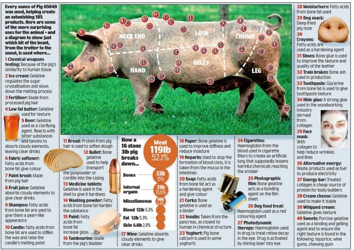 Screenshot of Daily Mail graphic of a domestic pig, October 3, 2009.